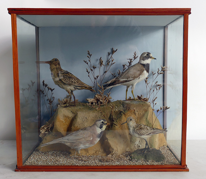 A cased Victorian Taxidermy Scene of a little Ringed Plover / Sanderling set in woodland, 41cm length x 27cm depth & 37cm height. This fetched £80 in our November 2019 sale.